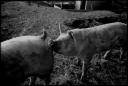 La truie cochonne
