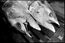 Les têtes de thons